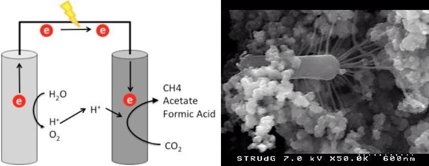 Esquema gràfic del funcionament general d'un sistema bioelectroquímic.(esquerra)  //  Una imatge al microscopi electrònic dels bacteris units al càtode, mostrant els apèndixs característics (dreta)